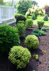 shrubs mulch
